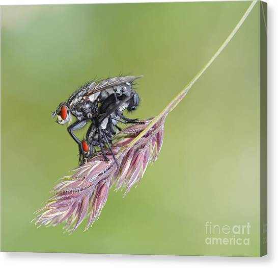 Gnats Canvas Print - Reproduction - At The Height Of Bliss by Michal Boubin
