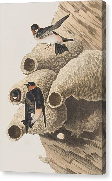 Swallow Canvas Print - Republican Or Cliff Swallow by John James Audubon