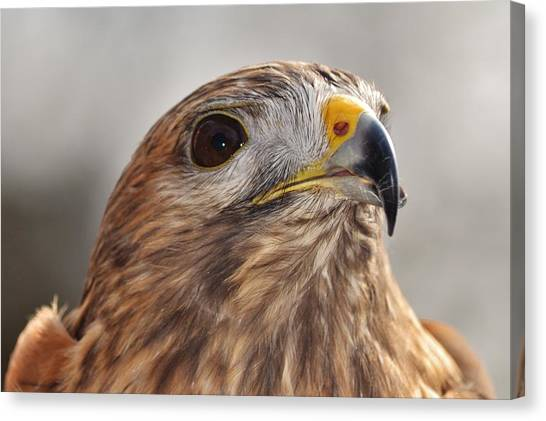 Rescued Hawk Canvas Print