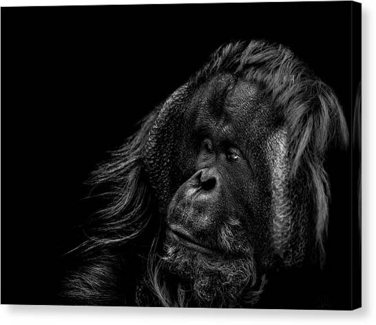 Orangutan Canvas Print - Respect by Paul Neville