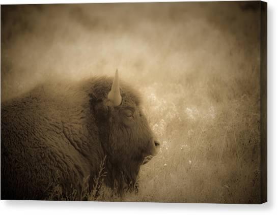 Resting Buffalo Canvas Print by Patrick  Flynn