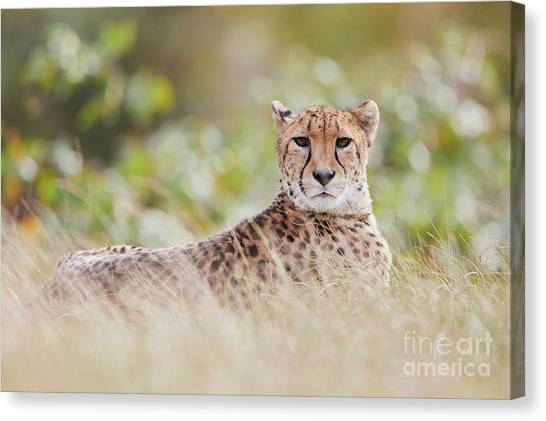 Canvas Print featuring the photograph Resting Cheetah by Nick Biemans