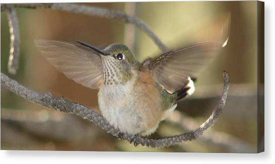 Resting Humming Bird Canvas Print