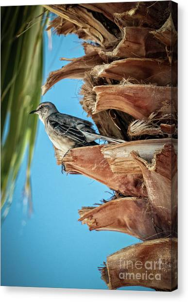 Mockingbirds Canvas Print - Resting Mockingbird by Robert Bales