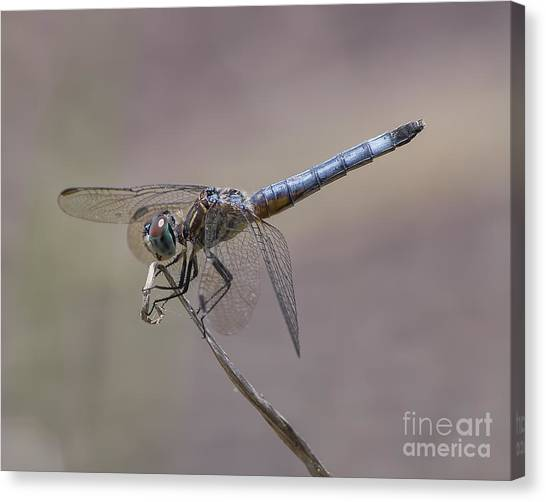 Resting My Wings Canvas Print