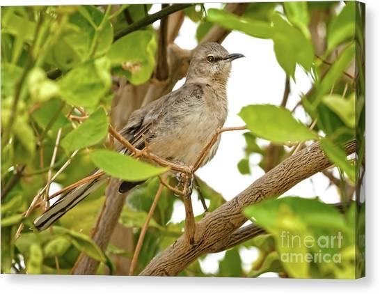 Mockingbirds Canvas Print - Resting Northern Mockingbird by Robert Bales