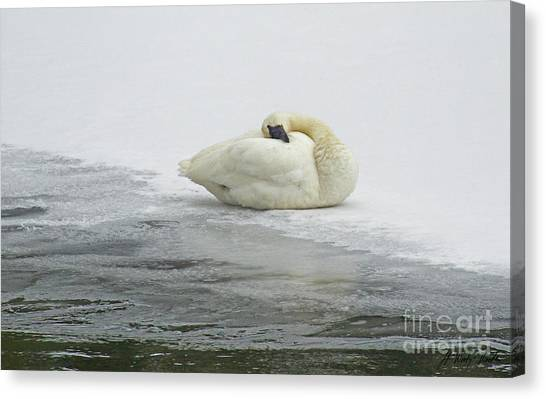 Resting Swan-signed-#1314 Canvas Print