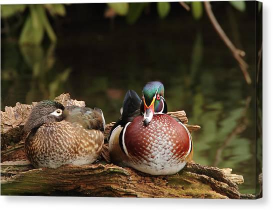 Resting Wood Ducks Canvas Print