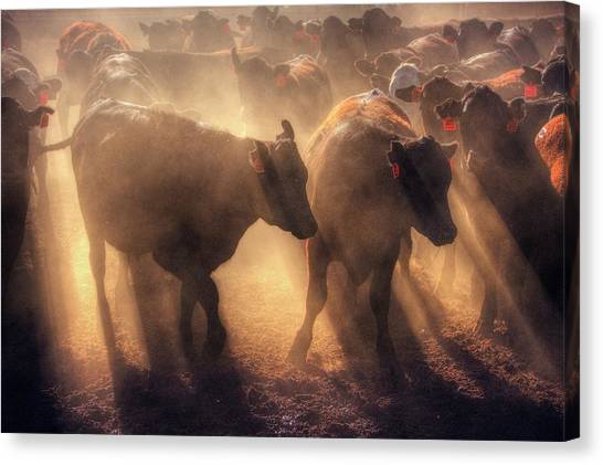 Canvas Print featuring the photograph Restless Cattle At Sunset by Quality HDR Photography