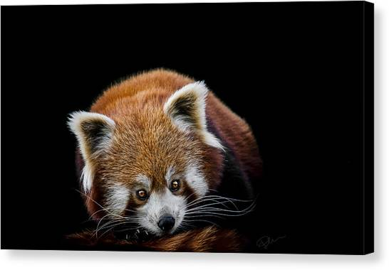 Panda Canvas Print - Restless by Paul Neville