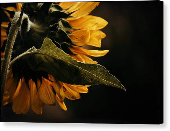 Reticent Sunflower Canvas Print