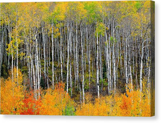 Return To The Aspen Forest Canvas Print