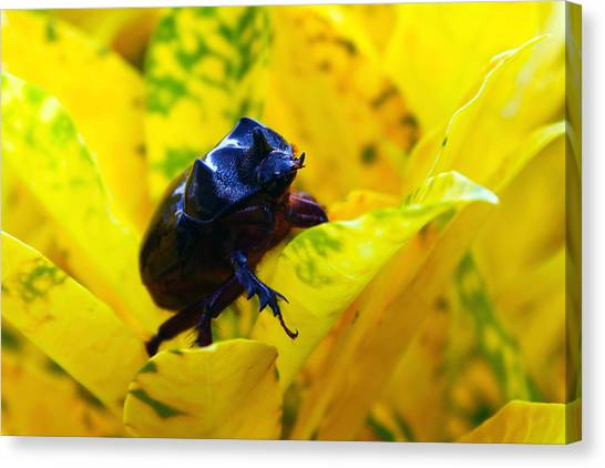 Canvas Print - Rhino Beetle by Evelyn Patrick