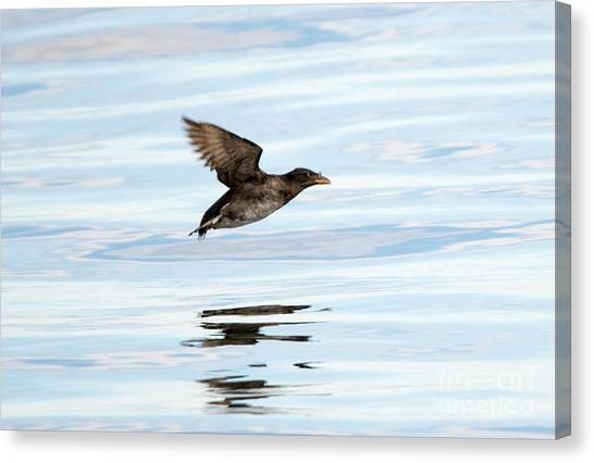 Auklets Canvas Print - Rhinoceros Auklet Reflection by Mike Dawson