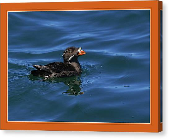 Auklets Canvas Print - Rhinocerous by BYETPhotography
