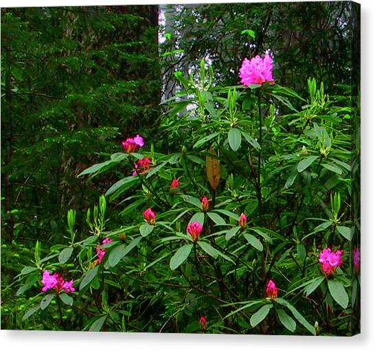Rhodies In The Redwoods Canvas Print by Tom Kidd