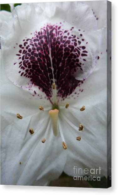 Rhododendron 2 Canvas Print