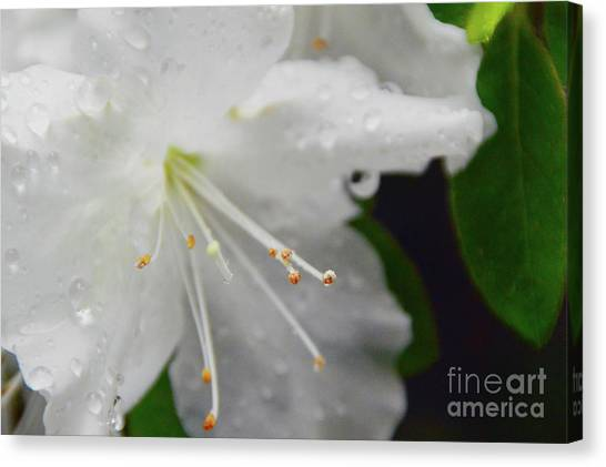 Rhododendron Blossom Canvas Print