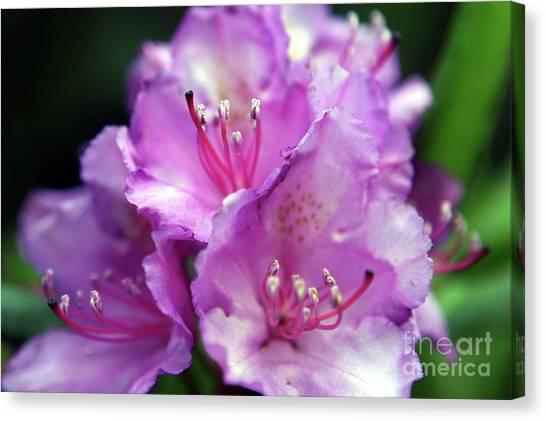 Rhododendron Festival Canvas Print