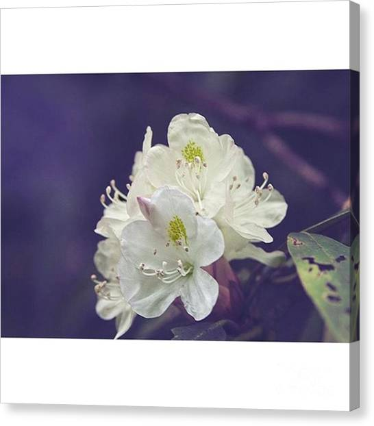 Tennessee Canvas Print - Rhododendron In Bloom  Middle Prong by Larry Braun