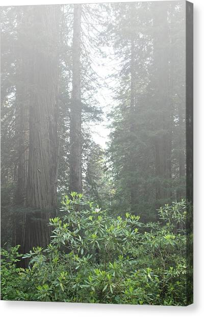 Rhododendrons In The Fog Canvas Print