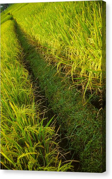 Rice Field Hiking Canvas Print