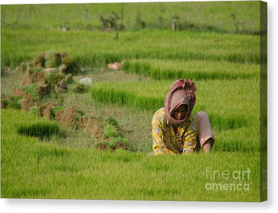 Rice Field Worker Harvests Rice In Green Field In Southeast Asia Canvas Print