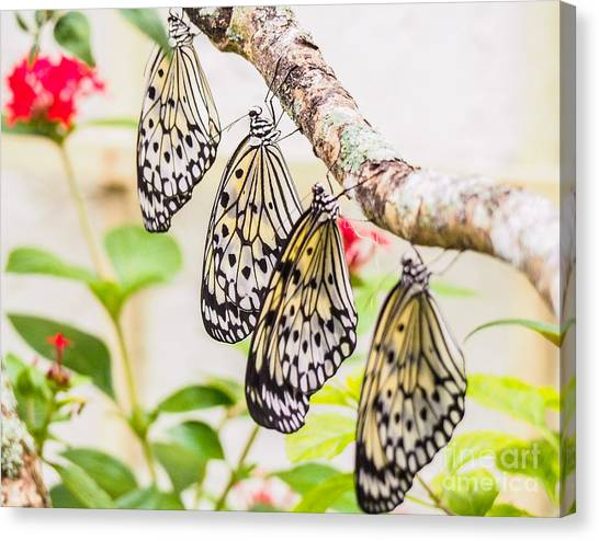 Rice Paper Butterflies Canvas Print