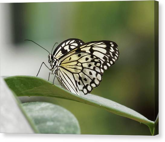Canvas Print featuring the photograph Rice Paper Butterfly - 2 by Paul Gulliver