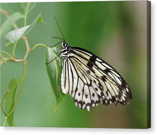 Canvas Print featuring the photograph Rice Paper Butterfly by Paul Gulliver