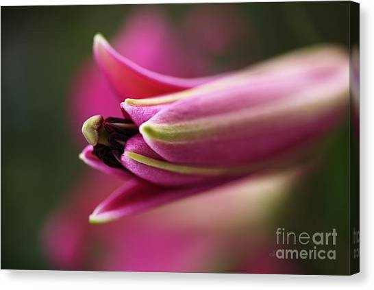 Rich Pink Lily Bud Canvas Print