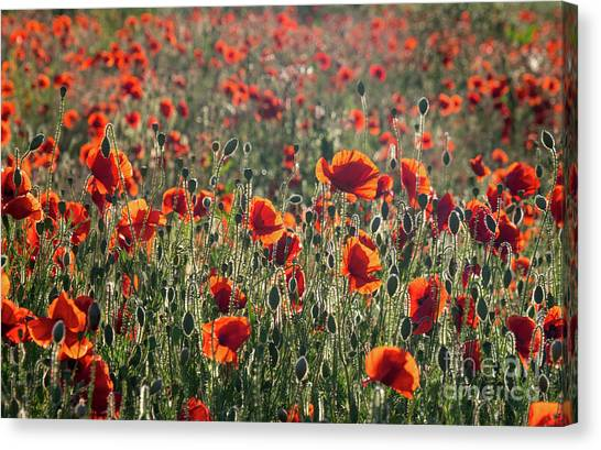 Rich Red Poppys Canvas Print