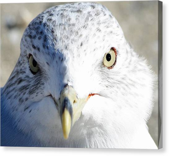 Ring Billed Gull Canvas Print