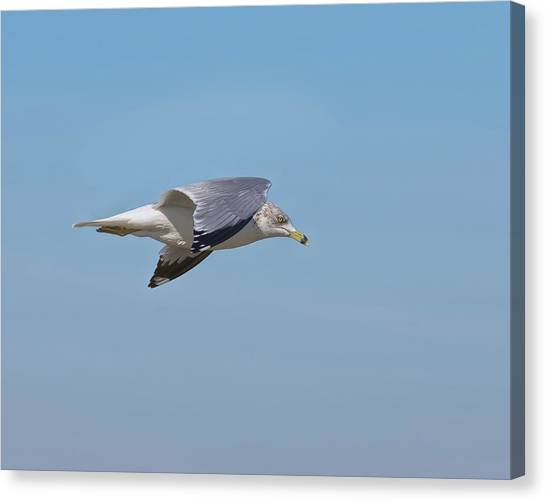 Biology Canvas Print - Ring Billed Gull by John M Bailey