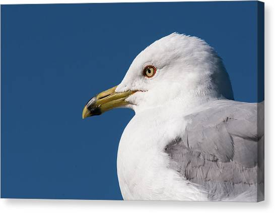 Ring-billed Gull Portrait Canvas Print