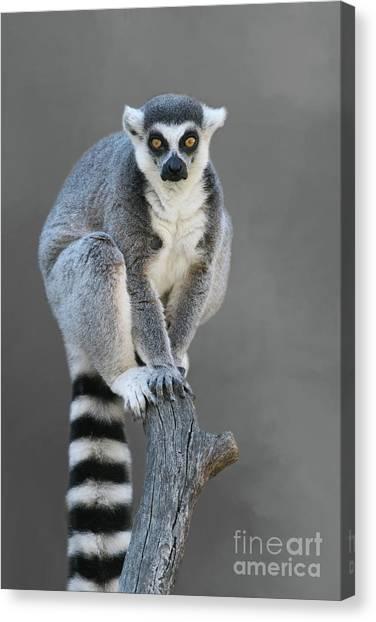 Ring-tailed Lemur #6 V2 Canvas Print