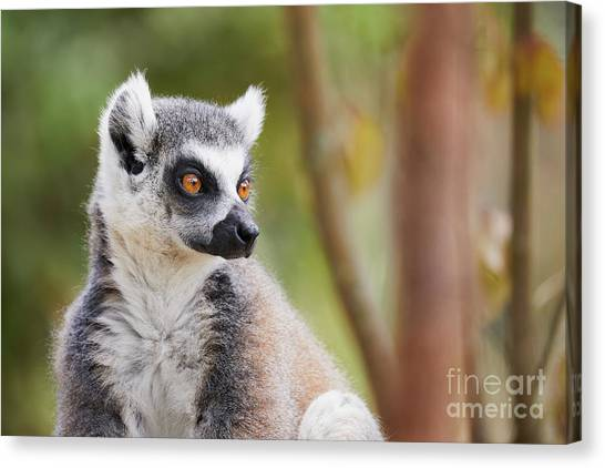 Canvas Print featuring the photograph Ring-tailed Lemur Closeup by Nick Biemans