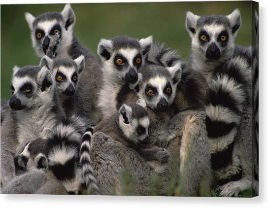 Head And Shoulders Canvas Print - Ring-tailed Lemur Lemur Catta Group by Gerry Ellis