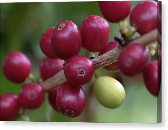 Ripe Kona Coffee Cherries Canvas Print