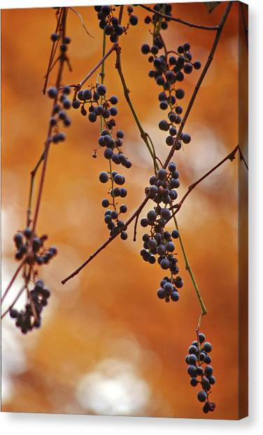 Ripe Wild Grapes  Canvas Print