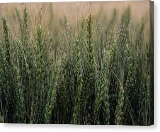 Ripening Wheat No. 2 Canvas Print by Al White