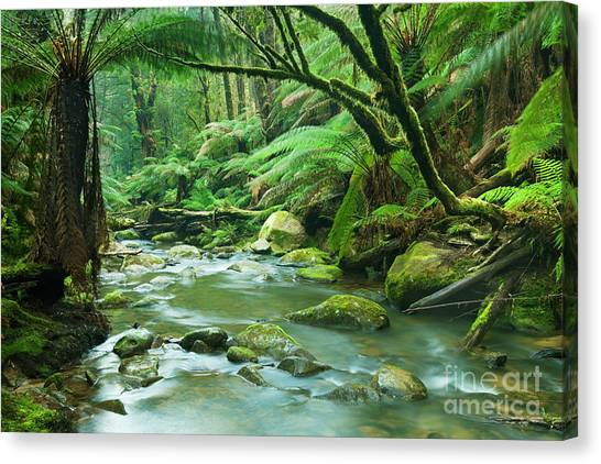Great Otway National Park Canvas Print - River Through Lush Rainforest In Great Otway Np, Victoria, Austr by Sara Winter