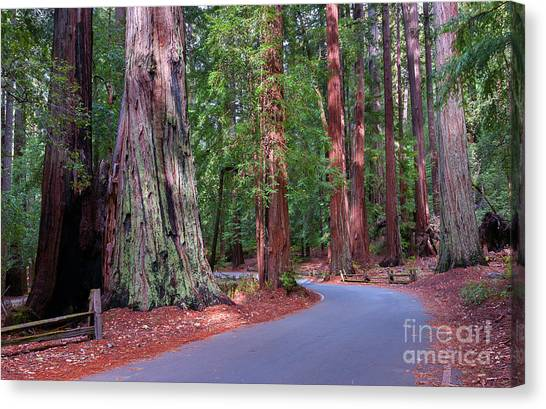 Road Through Redwood Grove Canvas Print