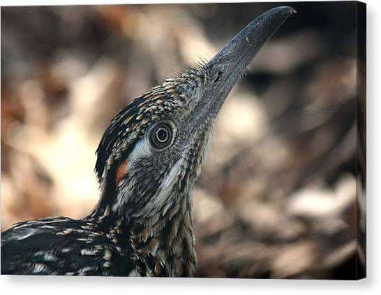 Roadrunner Close-up Canvas Print