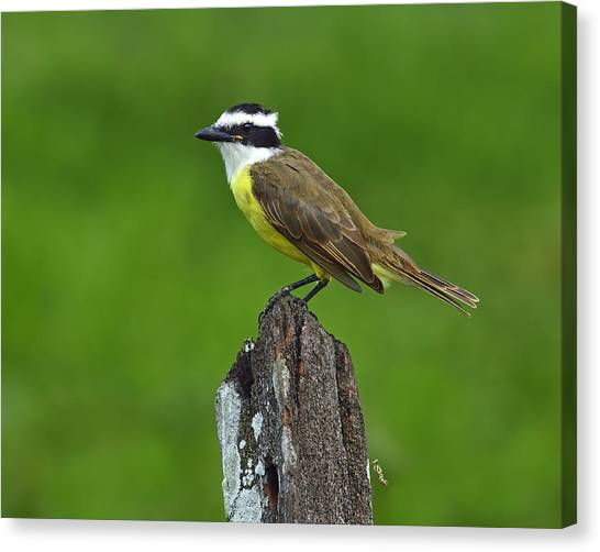 Roadside Kiskadee Canvas Print