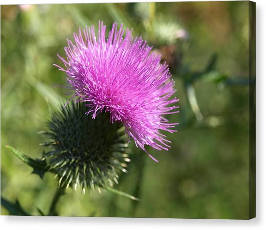 Roadside Thistle - 1 Canvas Print