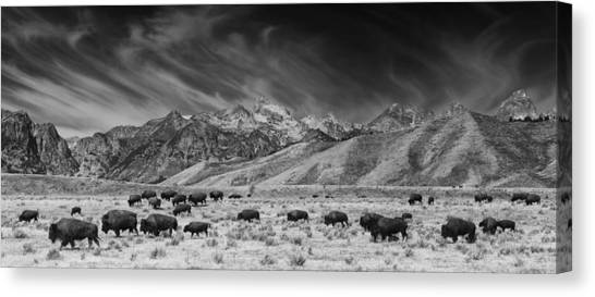 Roaming Bison In Black And White Canvas Print