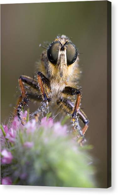 Robberfly Canvas Print by Andre Goncalves