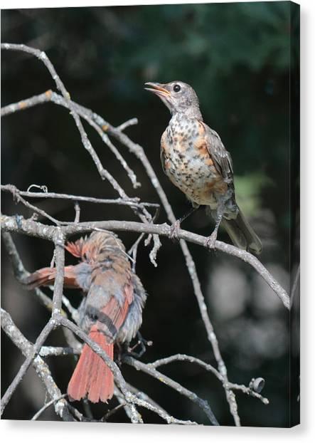 Robin And Cardinal 2664 Canvas Print