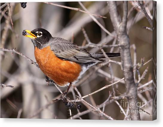 Robin Eating Canvas Print by Chris Hill